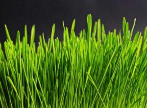 Superfood: Weizengras